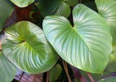 Heart shaped leaf. Green heart shaped leaf royalty free stock photo
