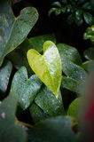 Heart shaped leaf. Heart shaped green leaf Royalty Free Stock Photo