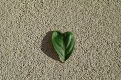 Heart shaped leaf. Green, Heart shaped leaf of lemon tree on cement floor Royalty Free Stock Images