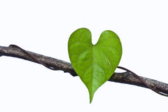 Heart shaped leaf on the isolated white background.  Royalty Free Stock Photo