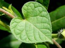 Heart shaped leaf Stock Image