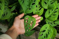 Heart-shaped leaf of monstera on the palm of a man royalty free stock image