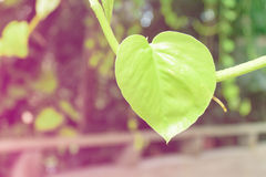 Heart-shaped leaf Royalty Free Stock Photos