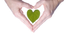 Heart Shaped Leaf Outlined By Woman's Hands. Hands in a heart shape surrounding a heart shaped leaf Stock Photos