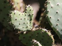 Prickly Pear Cactus Heart. A heart-shaped leaf on a Prickly Pear Cactus.  For Valentine`s Day Stock Photos