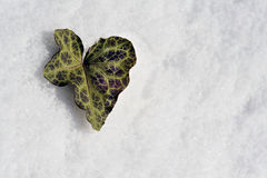 Heart shaped leaf on snow. Heart shaped green leaf on white snow with copy space, winter scene Stock Photos