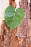 Heart shaped leaf on tree trunk. Heart shaped leaf on bark on tree trunk Stock Photography