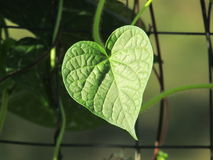 Heart-Shaped Leaf on Vine in Sunlight. This is a morning glory leaf on its vine along my garden fence Royalty Free Stock Image