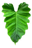 Heart shaped leaf on white Stock Image