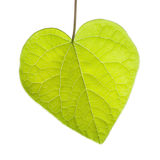 Heart Shaped Leaf on White Background Stock Images