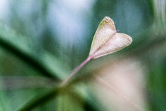 Heart-shaped leaf Stock Photography