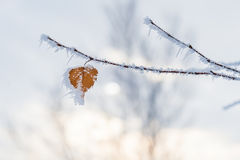 Heart-shaped leaf in the winter frost. Heart-shaped leaf in the blue winter frost Royalty Free Stock Photo