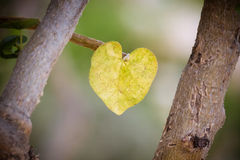 Heart shaped leaf. Heart shaped yellow leaf in san jose del cabo mexico Royalty Free Stock Photos