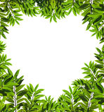 Heart shaped leafs Stock Photo