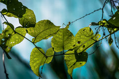 Heart shaped leafs Royalty Free Stock Photography