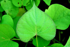 Heart-shaped leaves Stock Photos