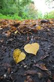 Heart shaped leaves in autumn Royalty Free Stock Photos