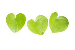 Heart shaped leaves closeup. Stock Images