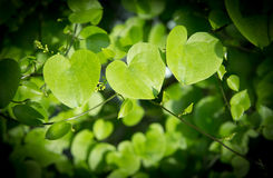 Heart shaped leaves closeup. Royalty Free Stock Images