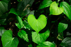 Heart-shaped leaves in garden Royalty Free Stock Image