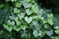 Heart-shaped leaves. Heart-shaped green leaves Royalty Free Stock Photo