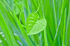 Heart-shaped leaves. Royalty Free Stock Photo
