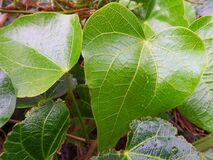 Heart shaped leaves in the rain Stock Photos