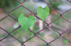 Heart-shaped leaves on the rusty grid-iron Stock Photography
