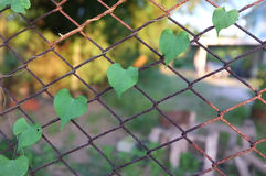 Heart-shaped leaves on the rusty grid-iron Royalty Free Stock Image