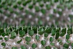 Heart shaped leaves with thorns stock image