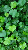 The heart-shaped leaves. The tree have green heart-shaped leaves Royalty Free Stock Photos