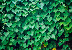 Heart shaped Leaves valentines day background. Stock Photo