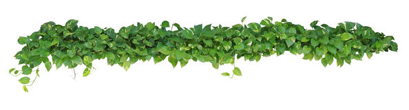 Free Heart Shaped Leaves Vine, Devil S Ivy, Golden Pothos, Isolated O Stock Photo - 78474240