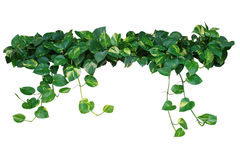 Heart shaped leaves vine, devil`s ivy, golden pothos, isolated o. N black background, clipping path included Royalty Free Stock Photo