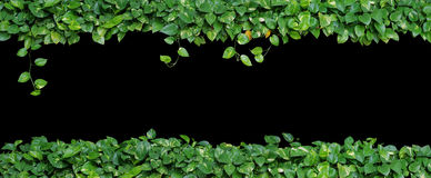Heart shaped leaves vine, devil`s ivy, golden pothos, isolated o. N black background. Ornamental plant with natural fresh and dried leaves in panorama view Royalty Free Stock Photo