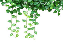 Heart shaped leaves vine, devil's ivy, golden pothos, isolated o. Heart shaped leaves vines, devil's ivy, golden pothos, isolated on white background, clipping Stock Photo