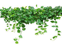 Heart shaped leaves vine, devil's ivy, golden pothos, isolated o. N white background, clipping path included Royalty Free Stock Image