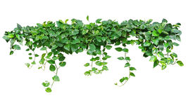 Heart shaped leaves vine, devil`s ivy, golden pothos, isolated o. N white background, clipping path included Stock Photography