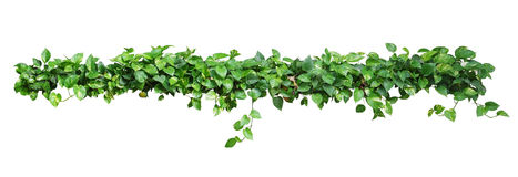 Heart shaped leaves vine, devil's ivy, golden pothos, isolated o. N white background, clipping path included. Ornamental plant vine with natural fresh and dried Stock Photos