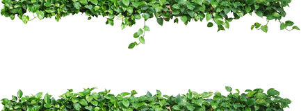Heart shaped leaves vine, devil's ivy, golden pothos, isolated o. N white background, clipping path included. Ornamental plant vine with natural fresh and dried Royalty Free Stock Image