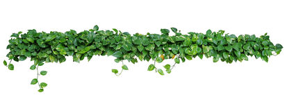 Heart shaped leaves vine, devil`s ivy, golden pothos, isolated o. N white background, clipping path included. Ornamental plant with natural fresh and dried Royalty Free Stock Photos