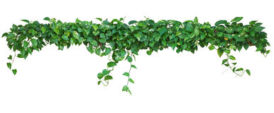 Heart shaped leaves vine, devil`s ivy, golden pothos, isolated o. N white background, clipping path included. Ornamental plant with natural fresh and dried Royalty Free Stock Photo