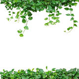 Heart shaped leaves vine, devil's ivy, golden pothos, isolated o. N white background. Natural frame of vines. Green leaves border. Heart leaves frame. Green Royalty Free Stock Photography