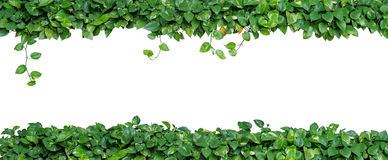 Heart shaped leaves vine, devil`s ivy, golden pothos, isolated o. N white background. Ornamental plant with natural fresh and dried leaves in panorama view Stock Images