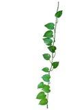 Heart shaped leaves vine, devil's ivy, golden pothos, money plan Royalty Free Stock Photography