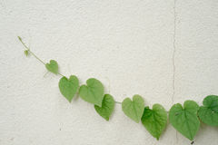 Heart shaped leaves on white wall. Green heart shaped leaves on white wall Royalty Free Stock Images