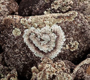 Heart shaped lichen on rock. Romantic heart shaped lichen growing on a rock by a beach royalty free stock images