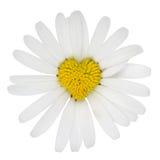 Heart shaped marguerite flower love. Heart shaped blossom of Marguerite flower love topic royalty free stock image