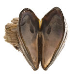 Heart shaped mussel shell. An open mussel shell, opened in the shape of a heart Stock Photography
