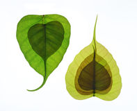 Heart shaped new leaf of peepal tree Stock Photos